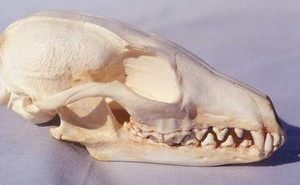 Gray Fox Skulls Replicas Models