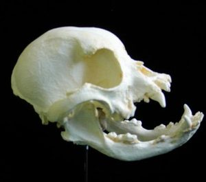 Domestic English Bull Dog Skulls Replicas Models