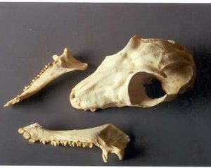 Malayan Flying Lemur Female Skulls Replicas Models