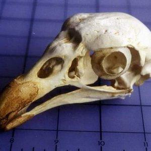 King Vulture Skulls Replicas Models