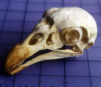 King Vulture Skulls Replicas Models