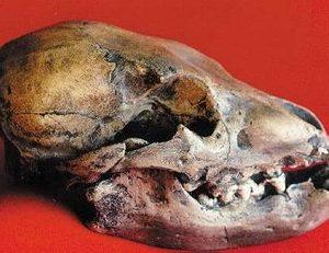 Cave Bear Cub Skulls Replicas Models