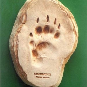 Coatimundi Footprint Cast Replica Models