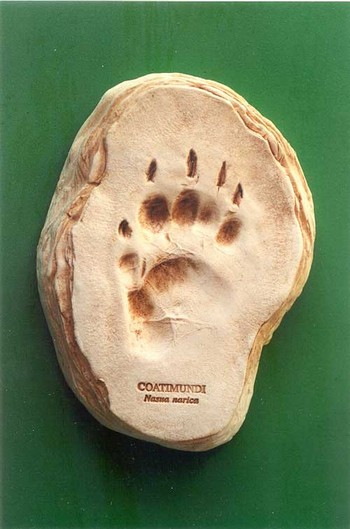 Coatimundi Footprint Cast Replica Models