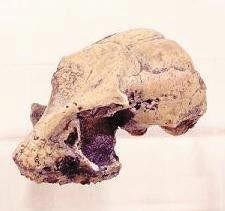 Rooneyia omomyid Skulls Replicas Models