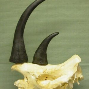 Black Rhinoceros Male Skull Replicas Models