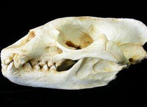 Mediterranean Monk Seal Skull Replicas Models
