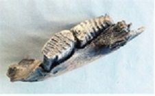 Woolly Mammoth Juvenile Jaw