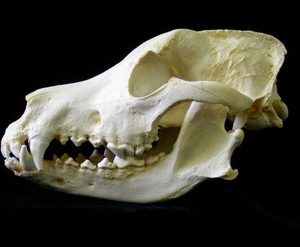 German Shepherd Dog Skulls Replicas Models