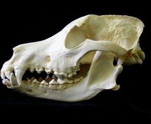 German Shepherd Dog Skulls Replicas Models