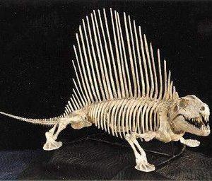 Dimetrodon Limbatus Skeleton