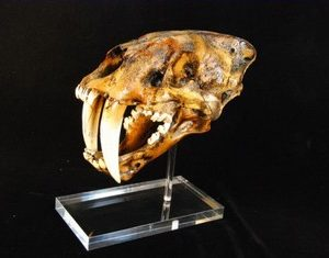 Sabertooth Cat Skull Cast Replica Models La Brea Color with base