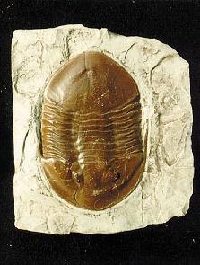 Isotelus Maximus Trilobite Replica