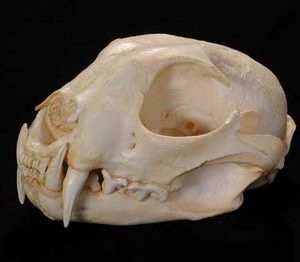 Caracal Adult Female Skull
