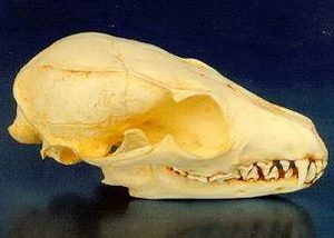 Island Fox Skulls Replicas Models