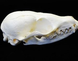 Sand or Pale Fox Skulls Replicas Models
