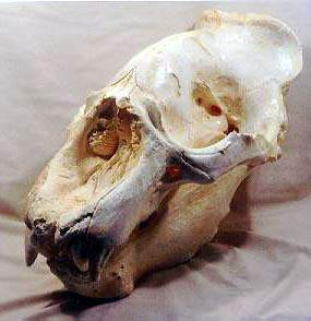 California Elephant Male Seal Skulls Replicas Models