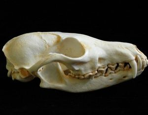 Red Fox Skulls Replicas Models