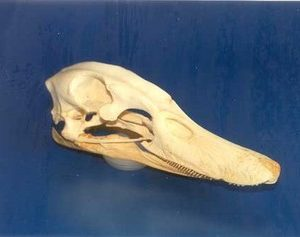 Domestic Duck Skulls Replicas Models