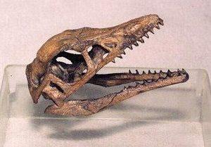 Archaeopteryx Dinosaur Skull Replica
