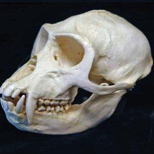 Vervet Green Monkey Skull