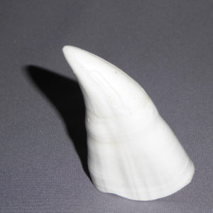 killer whale tooth replica