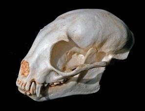 Kinkajou Honey Bear Skull