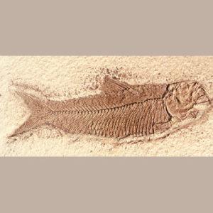 knighta humilis fish replica