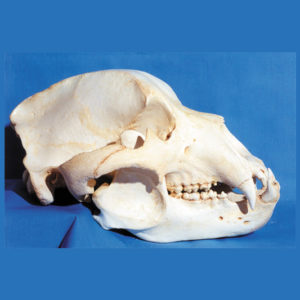 Bear Skulls and Skeletons