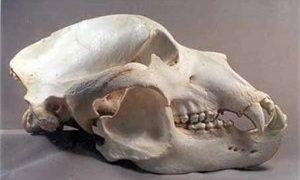 Kodiak Grizzly Bear Skull