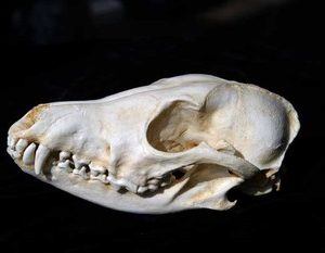 Black Backed Female Jackal Skulls Replicas Models