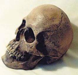 SW Amerind Skulls Replica Model