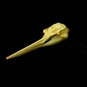 la-plata river dolphin skull