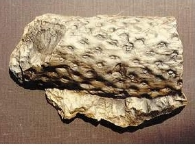 Lepidodendron Root Replica