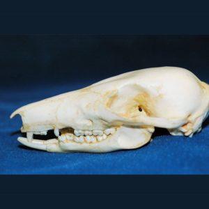 long nosed potoroo female skull
