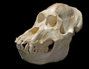 Sumatran Orangutan Male Skull Replica Model