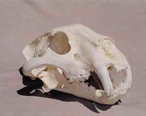 Siberian Tiger Skulls Replicas Models