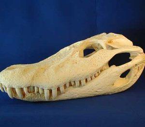 Black Caiman Skulls Replicas Models