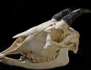 Northern Mainland Serow Skull Replica