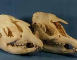 Malayan Tapir Skull Replica