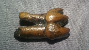 Manatee Tooth