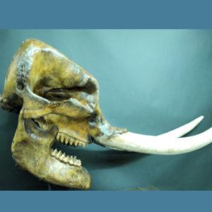 mastodon male skull replica