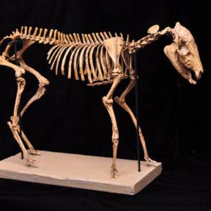 mesohippus bairdii skeleton replica