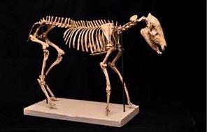 Mesohippus Skeleton Replica