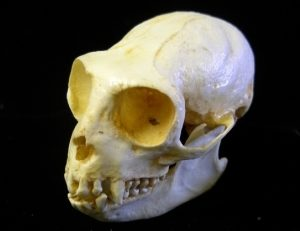 Mexican Howler Monkey Skulls Replica Model