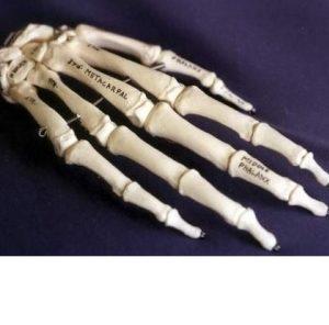 Modern Human Hand Anatomy Bones