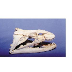 moray eel skull replica