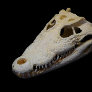mugger crocodile skull replica