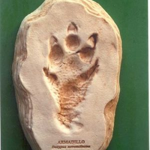 Armadillo Footprint Cast Model Replicas
