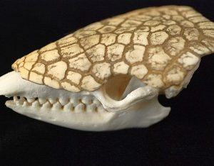 Six Banded Extra Large Armadillo Skulls Replicas Models